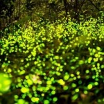Парк светлячков (Fireflies Park) в Куала Селангор, Малайзия