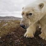 Белый медведь напал на туристов в Шпицбергене