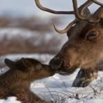 Национальный парк Коми заботится об оленях