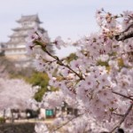 Туроператоры формируют спецпредложения в период цветения сакуры
