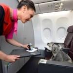 Коала летит из Австралии в Сингапур в бизнес-классе