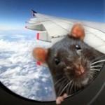 Пассажирский самолет экстренно приземлился из-за крысы на борту