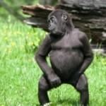 Танцующая горилла из английского зоопарка стала звездой интернета