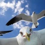 Венеция объявила войну чайкам