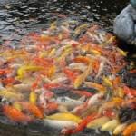 Турист из Китая арестован за кормление рыбы в Таиланде