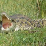 Крокодил напал на купавшегося в озере туриста в Уганде